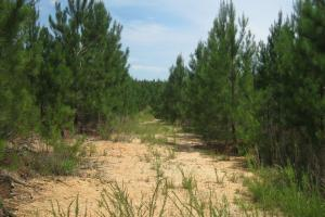 Well maintained interior road with young pines. (17 of 27)