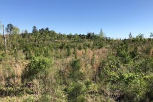 Young Pine Plantation in Calhoun, MS (2 of 3)