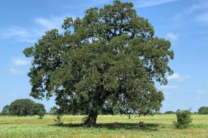 Large oak on 25 acres tract near Lake Fork.  (13 of 16)