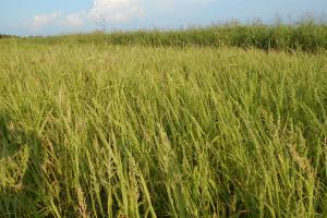 Moist Soil Plants plus Millet for this duck season (4 of 13)