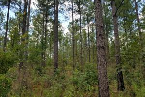 Thinned Loblolly Pine. (5 of 8)