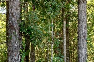 The Pine Hill Development and Timber Tract  - Wilcox County, AL