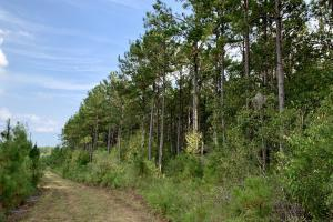 Pine Hill Above Average Timber & Hunting Investment in Wilcox, AL (24 of 27)