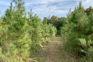 Pine Hill Above Average Timber & Hunting Investment in Wilcox, AL (13 of 27)