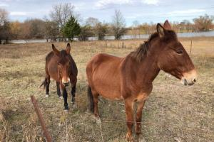 Two mules that are fenced in on the property, that have access to the conservation lake for watering (26 of 28)