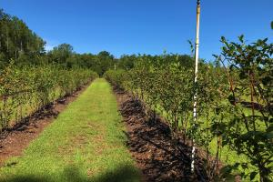 Sub-Irrigated Blueberry Orchard (43 of 71)