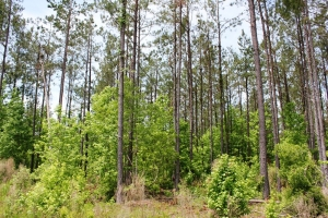 Ridgeville Large Acre Hunting & Timber Tract - Dorchester County SC