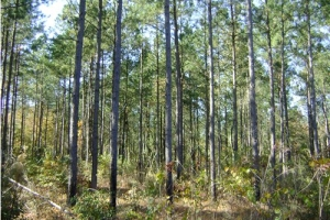 hunting land for sale south carolina, sc hunting land, sc timberland (3 of 4)