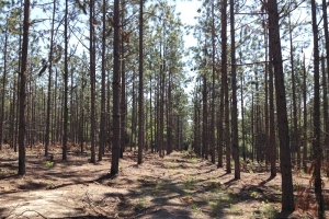 Private Longleaf Pine Estate - Barnwell County SC