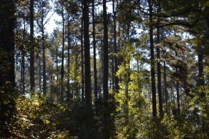 140+/- Acres Pine Plantation Timberland & Hunting Land (Haskew Tract 2) - Drew County AR