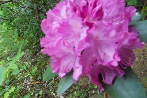 <p>Property is full rhododendron, mountain laurel, and other flowering plants</p>