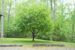 <p>Golden Delicious apple tree grows just off the front porch of the guest house</p>