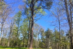 North Knotty Pine Recreational Timber - Kershaw County SC
