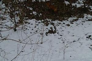 Reclusive red fox at the edge of the timber. (20 of 29)