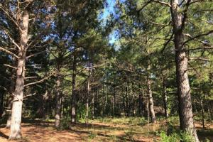 Mature pines. #GeorgiaLandForSale (14 of 31)