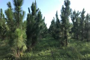 Income producing Planted Long Leaf Pine. #GeorgiaLandForSale (3 of 31)
