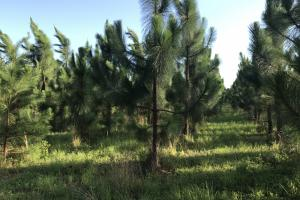 Well maintained pine stand. #GeorgiaLandForSale (10 of 31)