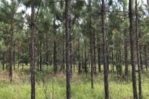 Young planted pine stand. #GeorgiaLandForSale (2 of 31)
