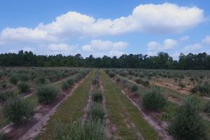 Abla Olive Tree Farm (Abla Farm and Nursery) - Polk County TX