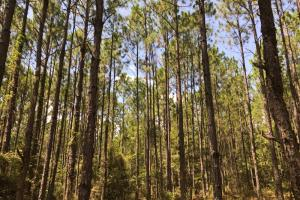 Laurens County Timber, Hunting and Homesite Tract in Laurens, GA (13 of 20)