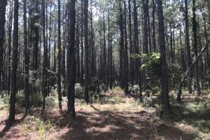 Laurens County Timber, Hunting and Homesite Tract in Laurens, GA (18 of 20)
