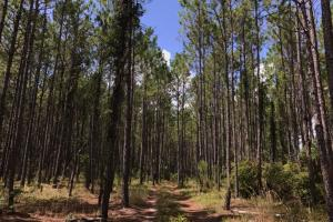 Laurens County Timber, Hunting and Homesite Tract in Laurens, GA (19 of 20)