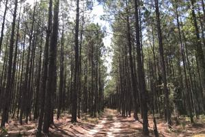 Laurens County Timber, Hunting and Homesite Tract in Laurens, GA (5 of 20)