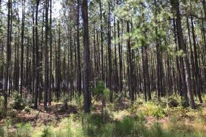 Laurens County Timber, Hunting and Homesite Tract in Laurens, GA (2 of 20)