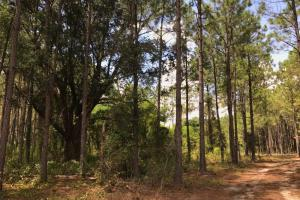 Laurens County Timber, Hunting and Homesite Tract in Laurens, GA (8 of 20)