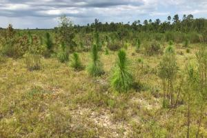 Laurens County Long Leaf Investment & Hunting Tract in Laurens, GA (3 of 11)