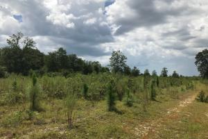 Laurens County Long Leaf Investment & Hunting Tract in Laurens, GA (4 of 11)