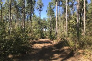 Mature loblolly pine timber. (11 of 19)