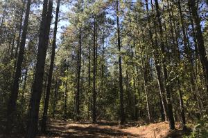 Mature loblolly pine timber. (16 of 19)