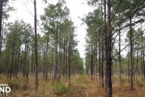 Far Side 50 Acres Hunting and Timber - Pender County, NC