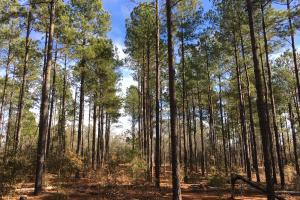 Mature Loblolly Hunting Property - Barnwell County SC