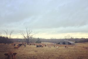 Lancaster Cattle Farm - Lancaster County SC