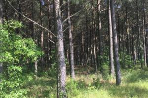 120 acres pine ready for harvest (under contract) (22 of 34)