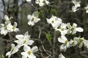 <p>Blooming Dogwoods</p>