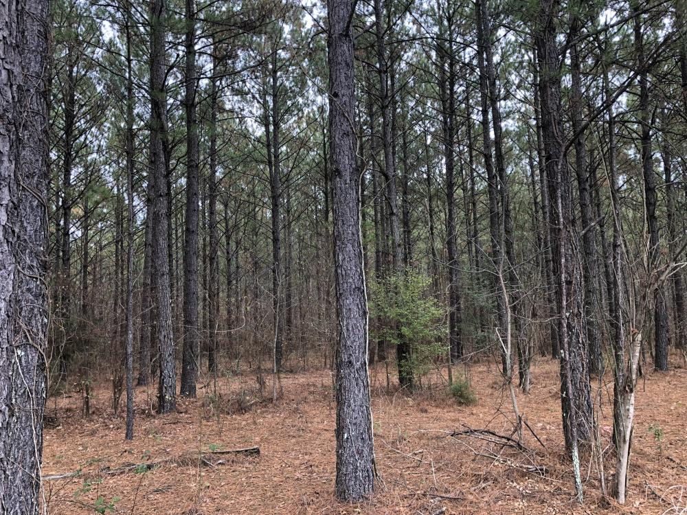 Hwy 481 Steady Income Timber in Scott County, MS