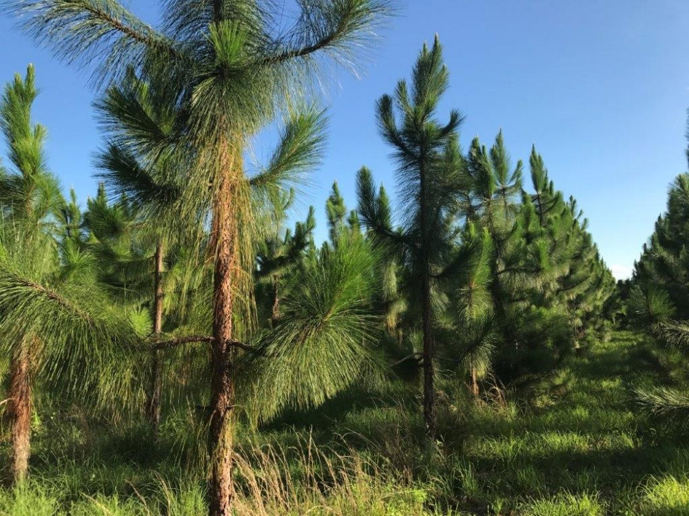 Long Leaf Pine & Recreational Tract in Emanuel County, GA