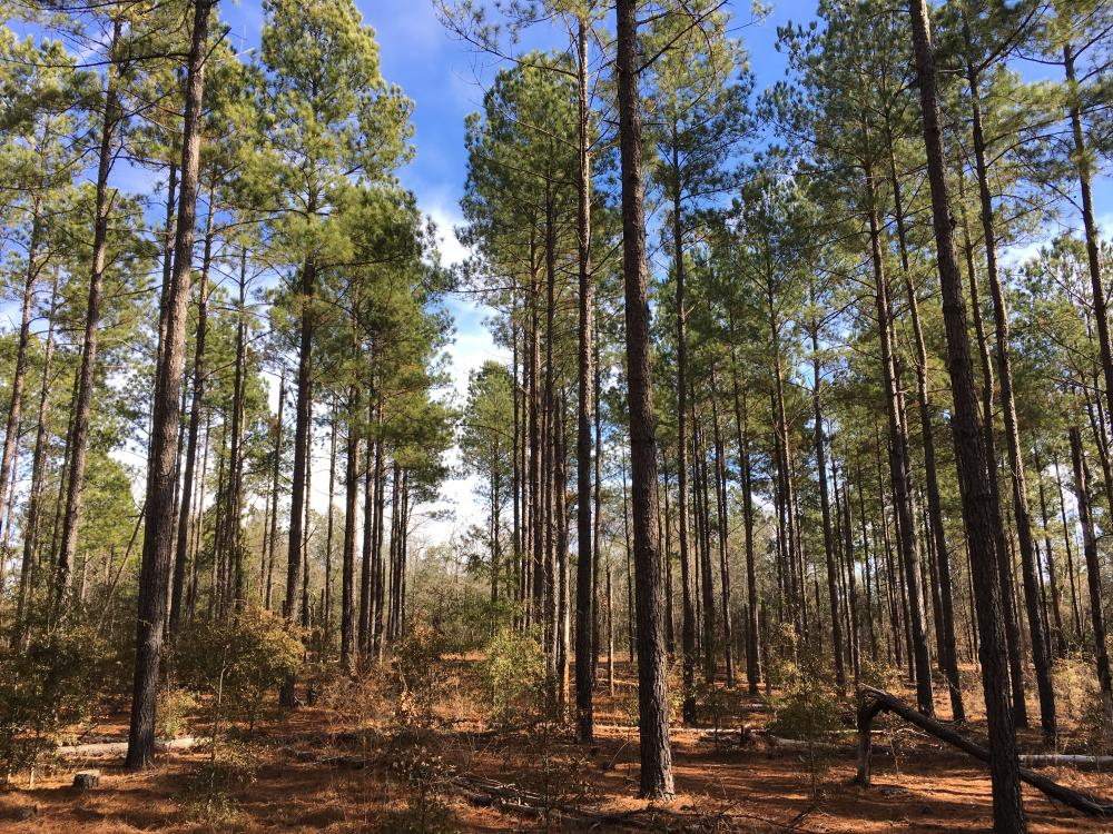 Mature Loblolly Hunting Property
